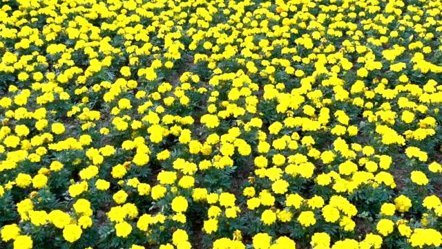 yellow chrysanthemum in bloom - chrysanthemum stock videos & royalty-free footage