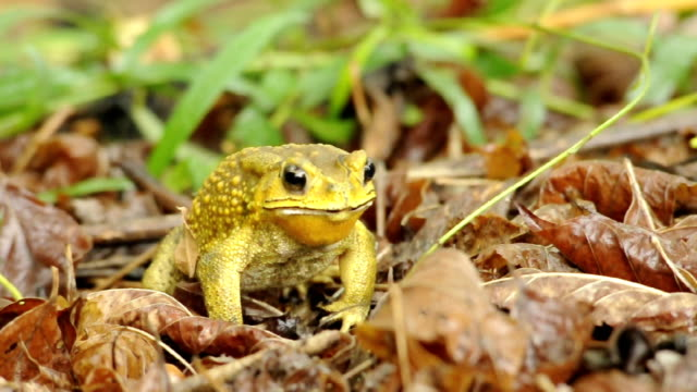 yellow color toad eating bugs - ugliness stock videos and b-roll footage