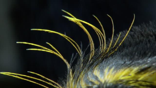 vidéos et rushes de yellow crest feathers of royal penguin (eudyptes schlegeli), macquerie island, australia - plume