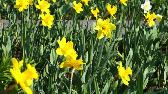 yellow daffodil blossom in the garden - daffodil stock videos & royalty-free footage