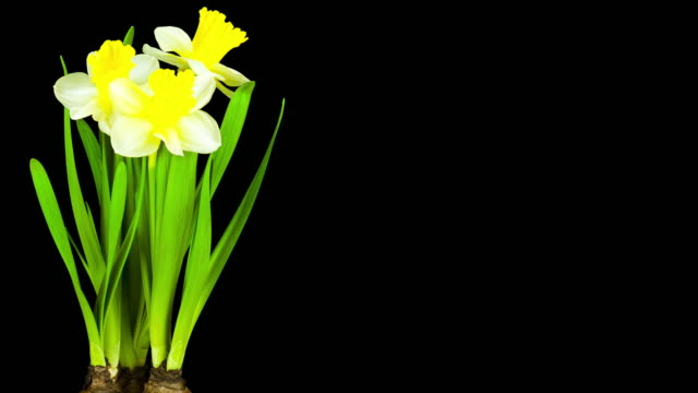 yellow daffodil; time lapse - daffodil stock videos and b-roll footage