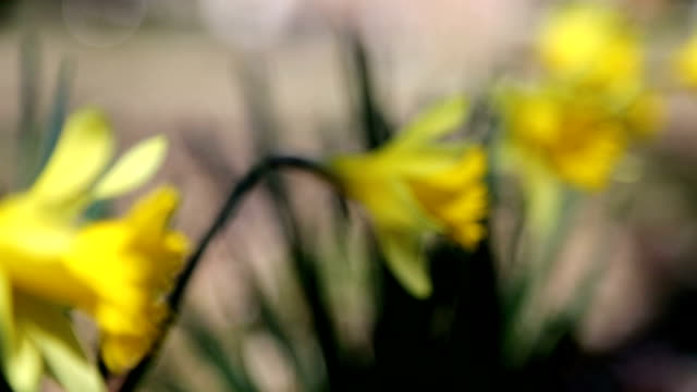 Yellow Daffodils in the Spring