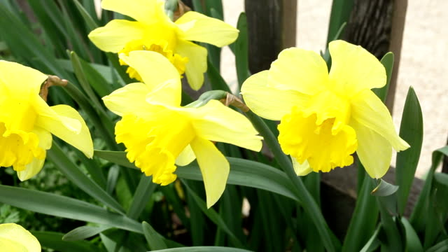 yellow daffodils - paperwhite narcissus stock videos & royalty-free footage