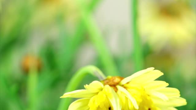 yellow daisy and moth worm - skadedjur bildbanksvideor och videomaterial från bakom kulisserna