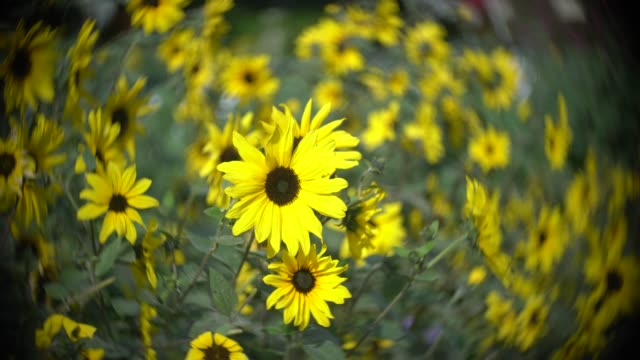 yellow daisy flowers - fish eye lens stock videos & royalty-free footage