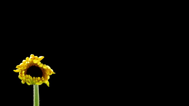 Yellow Daisy Time Lapse