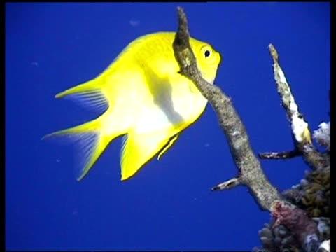 CU Yellow Damselfish swimming in sunlit water, Malaysia