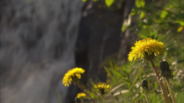 yellow dandelions bloom near a waterfall in alaska. - dandelion stock videos & royalty-free footage