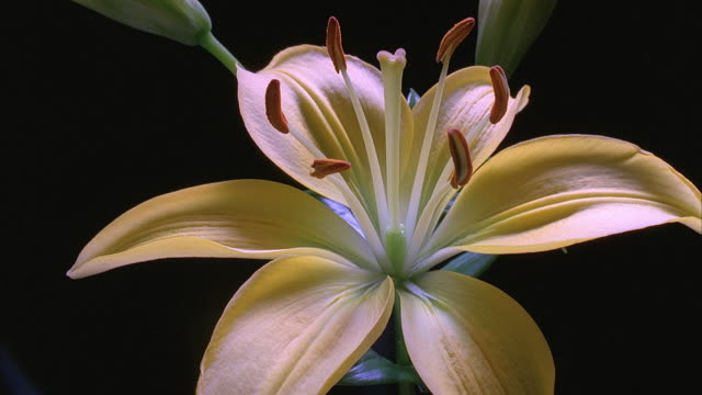 t/l, cu, yellow day lily opening against black background - lily stock videos & royalty-free footage