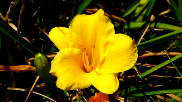 yellow daylily - day lily stock videos & royalty-free footage