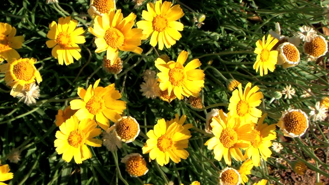 yellow desert daisies - daisy stock videos and b-roll footage