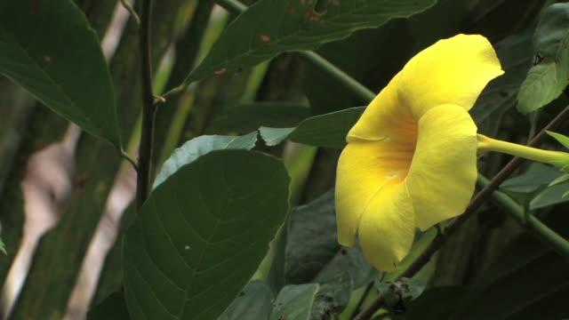 CU yellow dipladenia/ Manu National Park, Peru