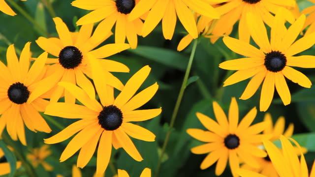 hd dolly: yellow echinacea - ståndare bildbanksvideor och videomaterial från bakom kulisserna