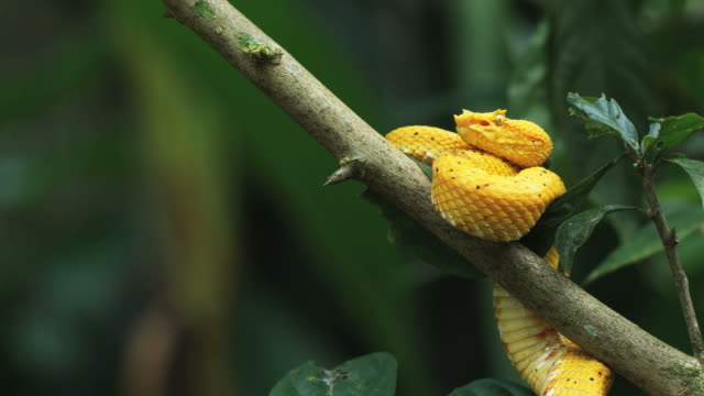 vídeos de stock e filmes b-roll de yellow eyelash pit viper in a tree branch striking - costa rica