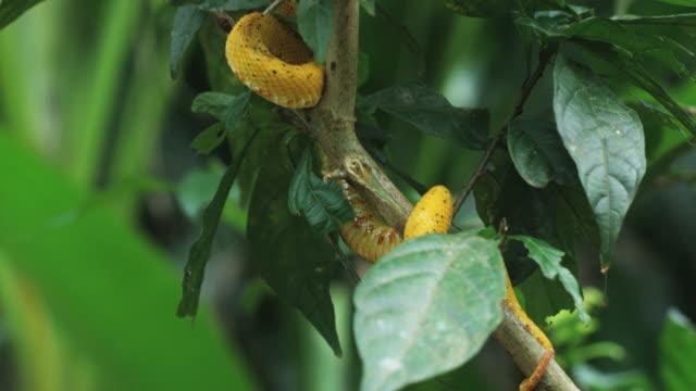 yellow eyelash pit viper in a tree branch