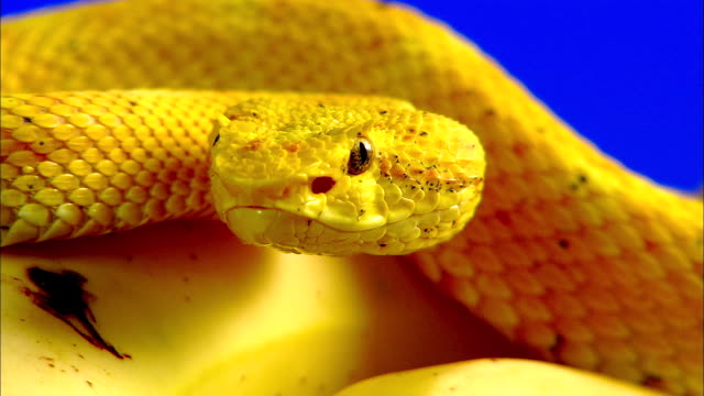 a yellow eyelash viper coils on top of a banana. - animal eye stock videos & royalty-free footage