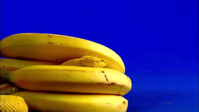 a yellow eyelash viper crawls through a bunch of bananas. - camouflage点の映像素材/bロール
