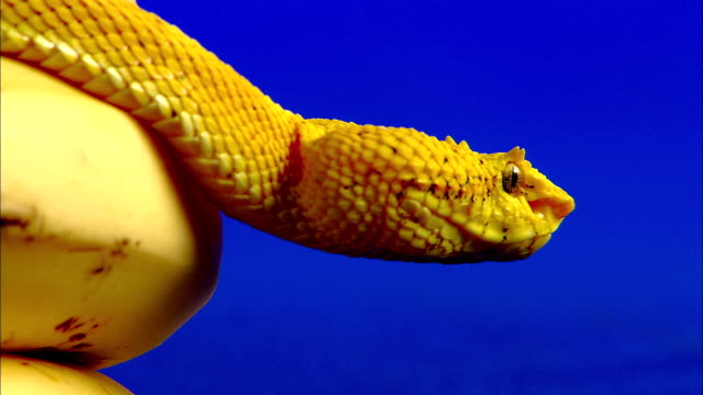 a yellow eyelash viper crawls through a bunch of bananas. - camouflage stock videos & royalty-free footage