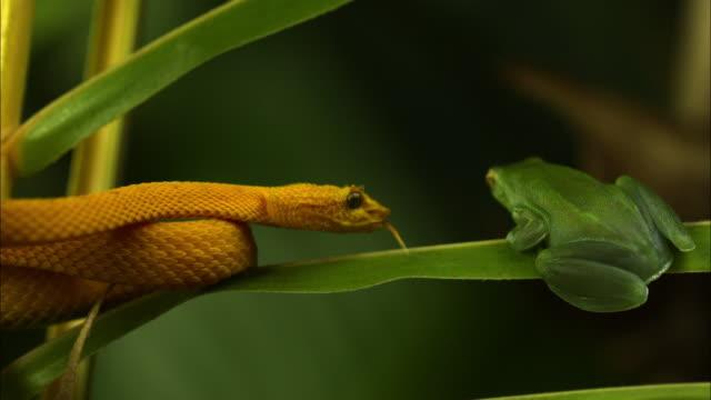 A yellow eyelash viper flicks its tongue at a green frog and the frog jumps away.