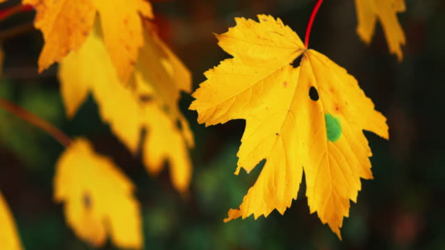 yellow fall maple leaf with green spot