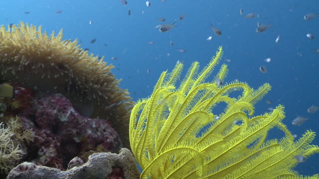 Yellow feather star and corals and anemone, Southern Visayas, Philippines
