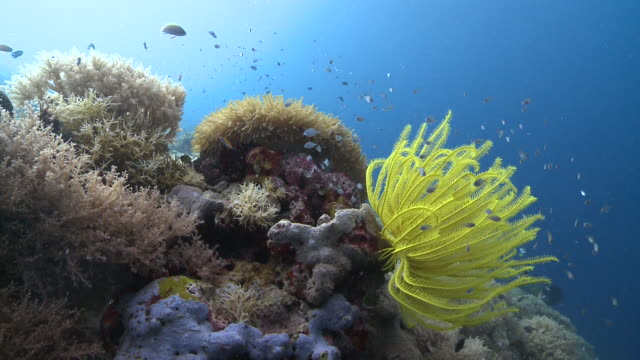 Yellow feather star and corals, Southern Visayas, Philippines