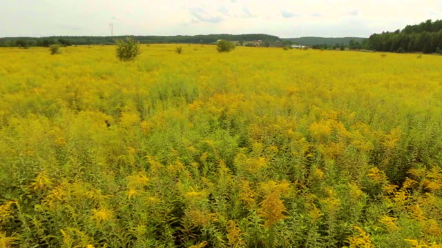 yellow field of rape aerial shot - invertebrate stock videos & royalty-free footage