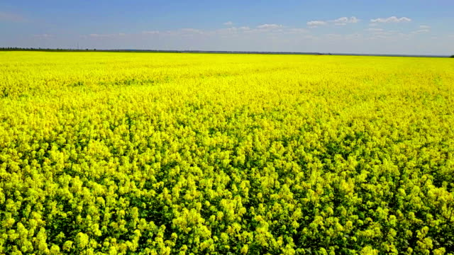 yellow field of ripe rapeseed - canola stock videos and b-roll footage