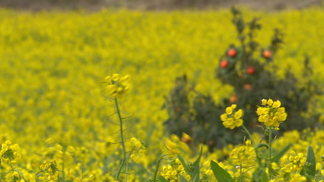 Yellow fields of rape seed oil flowers in Jejudo island (famous tour location)