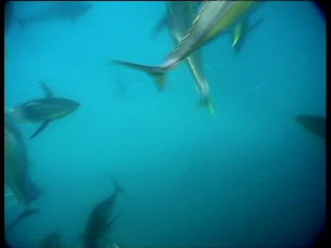 vídeos y material grabado en eventos de stock de yellow fin tuna shoal attacks bait ball of smaller fish in open ocean - atún animal