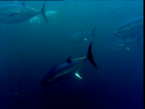 yellow fin tuna shoal swims past camera, panama - 通過する点の映像素材/bロール