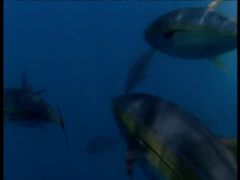 yellow fin tuna swim from camera, panama - 通過する点の映像素材/bロール
