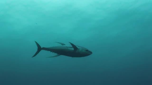 vídeos y material grabado en eventos de stock de yellow fin tuna swimming in blue water, darwin island, galapagos islands, ecuador. - atún animal