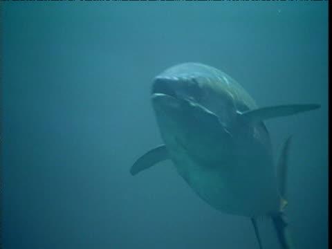 vídeos de stock e filmes b-roll de yellow fin tuna swims over camera, panama - atum peixe