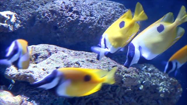 Peces amarillos lactancia en los arrecifes de corales.