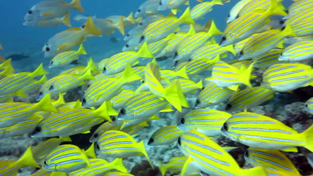 Yellow Fishes