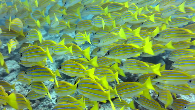 yellow fishes - school of fish stock videos & royalty-free footage