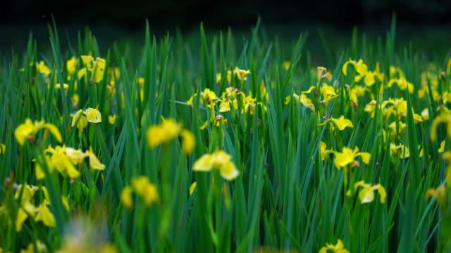 yellow flag (iris xiphioides), liendo, cantabria, spain, europe - iris plant stock videos & royalty-free footage