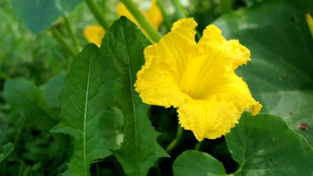 黄色い花の咲くカボチャ ビデオ - カボチャ点の映像素材/bロール