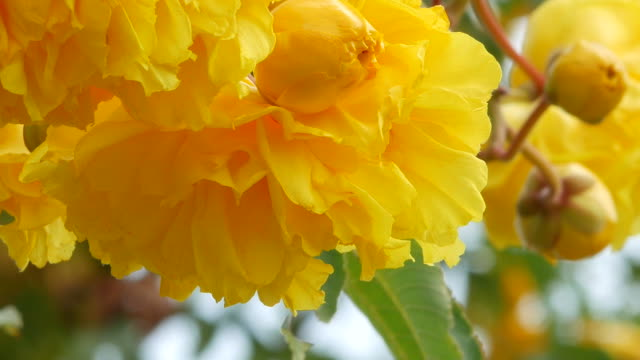 yellow flower on tree, Yellow Cotton Tree, zoom out