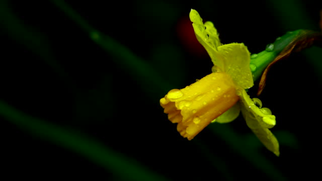 yellow flower - paperwhite narcissus stock videos & royalty-free footage