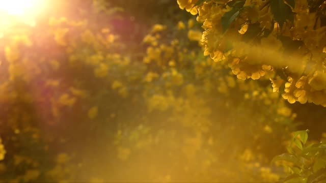 yellow flowers at sunset - pollen stock videos & royalty-free footage