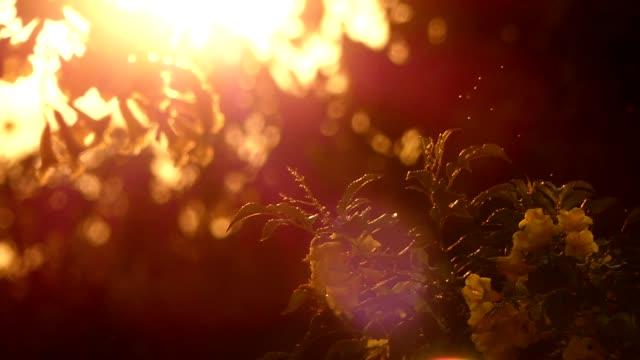gula blommor i solnedgången - varmt ljus bildbanksvideor och videomaterial från bakom kulisserna