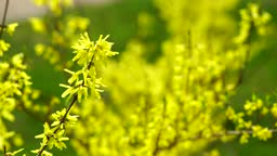 Yellow Flowers in Wind