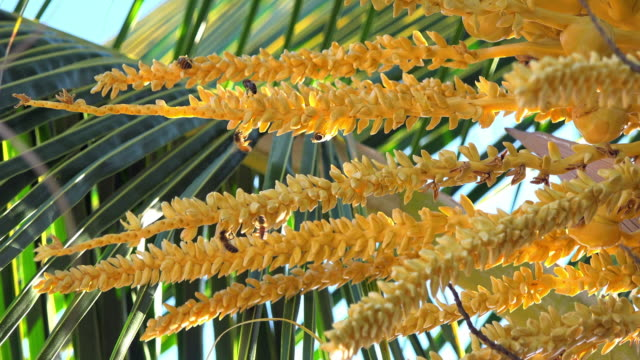 yellow flowers of a coconut tree, close up - tropical tree stock videos & royalty-free footage
