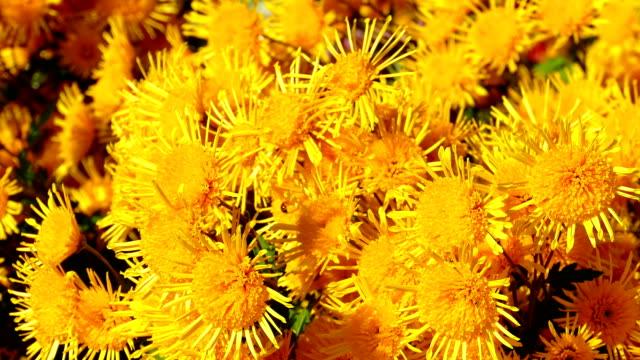 yellow flowers of autumn chrysanthemums - chrysanthemum stock videos & royalty-free footage