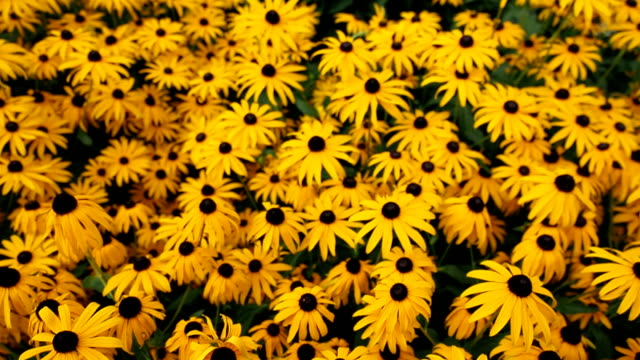 yellow flowers of black-eyed susan in the garden - daisy stock videos and b-roll footage