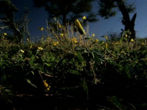 vídeos y material grabado en eventos de stock de t/l yellow flowers opening as day breaks, kalahari, south africa - desierto del kalahari