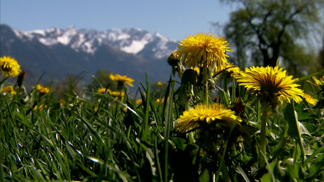 yellow flowers tremble in breeze. - bavarian alps stock videos & royalty-free footage