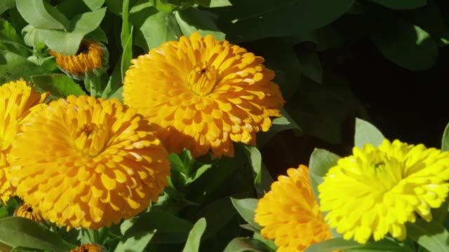 yellow flowers - chrysanthemum stock videos & royalty-free footage